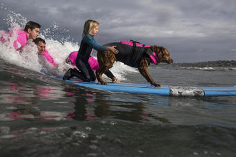 Ricochet, a Golden Retriever based in southern California, is a veteran therapy dog celebrating over a decade as the first ever dog to surf with children with special needs and veterans with PTSD.