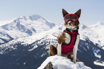 Henry, a Border Collie with the Canadian Avalanche Rescue Dog Association, stands watch over the Whistler Blackcomb ski resort in the Rocky Mountains.