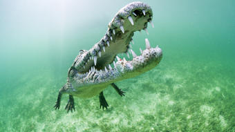 Cuban crocodiles are small crocodiles found only in Cuba. Despite their size, they are an aggressive and dangerous predator.