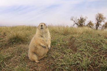 Prairie dogs are protected and thrive around Devils Tower National Monument in Wyoming.  Courtesy of MacGillivray Freeman Films. Photographer: Barbara MacGillivray