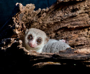 """As shown in the IMAX® film """"ISLAND OF LEMURS: MADAGASCAR,"""" Fat-tailed Dwarf lemurs reside in sleeping holes found in Madagascar."""