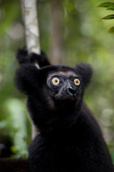 "Featured in the IMAX® film ""ISLAND OF LEMURS: MADAGASCAR,"" Indri lemurs are held sacred by local villagers in Madagascar."