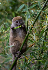 "Pictured is an Eastern Grey Bamboo lemur as shown in the IMAX® film ""ISLAND OF LEMURS: MADAGASCAR."""