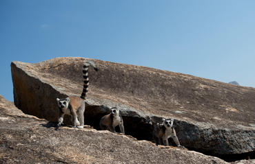 "As seen in the IMAX® film ""ISLAND OF LEMURS: MADAGASCAR,"" when traveling, Ring-tailed lemurs use their long tails like flags to keep their group together."