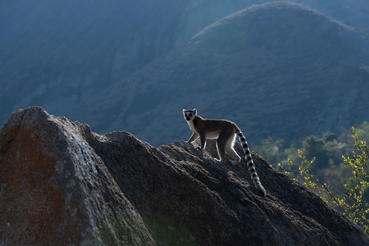 """Pictured is a Ring-tailed lemur at the Anja Reserve in Madagascar as shown in the IMAX® film """"ISLAND OF LEMURS: MADAGASCAR."""""""