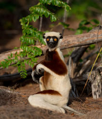 "Coquerel's Sifaka lemurs spend almost half of their day foraging for food, as shown in the IMAX® film ""ISLAND OF LEMURS: MADAGASCAR."""