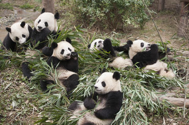 "Giant Pandas at China's Chengdu Panda Base as seen in the new IMAX® film, ""PANDAS,"" an IMAX Entertainment and Warner Bros. Pictures release. Photo by Drew Fellman"