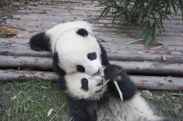"Giant Panda cubs at China's Chengdu Panda Base as seen in the new IMAX® film, ""PANDAS,"" an IMAX Entertainment and Warner Bros. Pictures release. Photo by Drew Fellman"