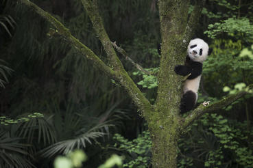 "A Giant Panda cub exploring the learning enclosure at Panda Valley in Dujiangyan, China as seen in the new IMAX® film, ""PANDAS,"" an IMAX Entertainment and Warner Bros. Pictures release. Photo by Drew Fellman"