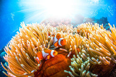 Two clown fish live symbiotically among sea anemones
