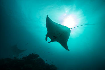 Giant manta rays swim overhead. Reaching nearly 25 feet in wingspan, these majestic creatures filter feed about 60 pounds of plankton a day. Photographer: Jemma Craig