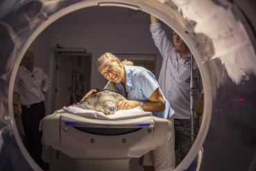 Founder of the Cairns Turtle Rehabilitation center, Jennie Gilbert prepares a distressed turtle for a CT scan. Photographer: Christian Miller
