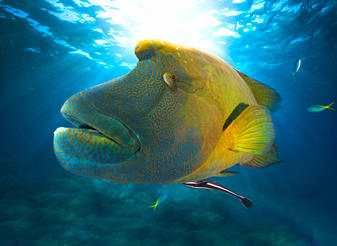 The Maori Wrasse is both a striking and unusual looking fish that both attracts divers and protects the environment by eating predators that attack the reef.