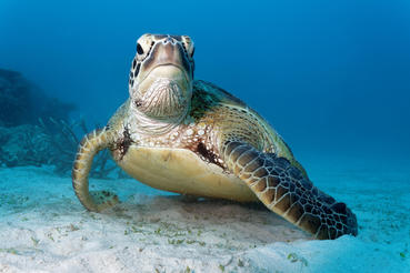 A Green Sea Turtle swims along the Great Barrier Reef – one of 6 species of turtle found on the reef.